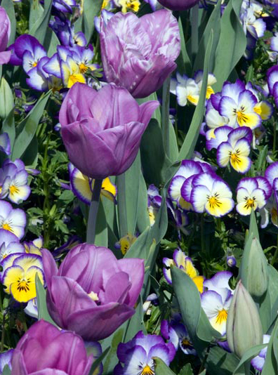 Tulips and pansy blossoms